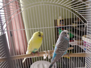 Budgies find a good home :)