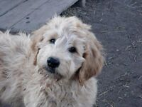 Delivery to Calgary Dec 1 F1  Goldendoodle  - Golden Doodle Pups