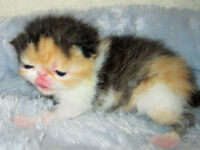Gorgeous Purebred Calico Short Haired Exotic Kitten 4 Sale