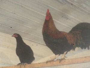 Coloured roosters