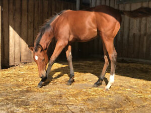 TB mare and foal for sale