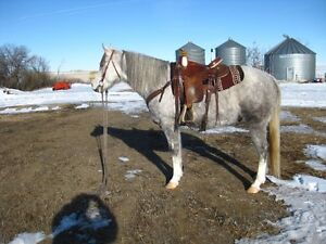 Fancy, flashy, 2010 grey gelding