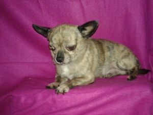 Adorable little chihuahua puppies  1 puupy left