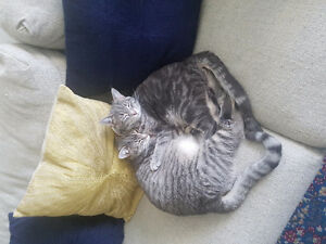 Two 10 month old gray tabby feline sisters