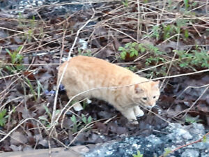 Found Orange cat