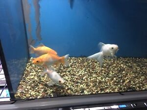 4 gold fish for free