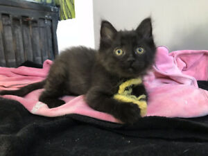Rescued Kitten, Runt, small & cute  - ALREADY SPAYED/CHIP/VACC