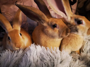 AWESOME Bunnie Rabbit babies ready for new loving homes