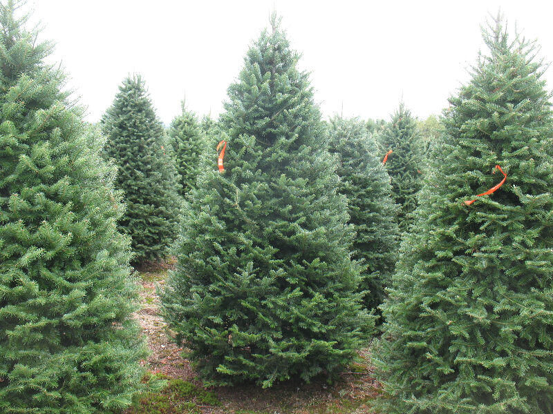 Mature Balsam Fir Landscape Trees In Wire Baskets Plants