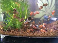 Tropical aquarium snails - Ramshorn and Tadpole