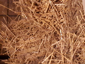 Straw mixed with alittle goat manure