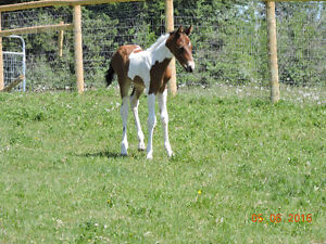Paint Filly For Sale