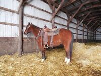 9 YEAR OLD--14.1 HAND GELDING--GENTLE KIDS TRAIL HORSE