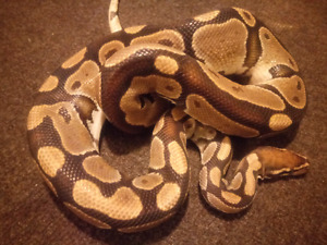 Adult male BP.  PROVEN BREEDER