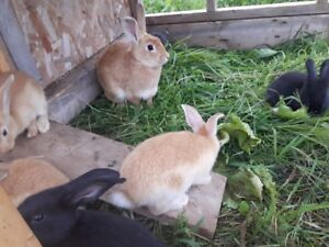 rabbits for meat or pets
