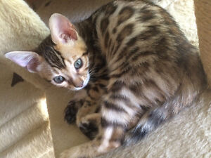 Top Quality Purebred Rosetted Bengal Kittens