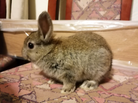 Baby Netherland Dwarf x mini rex rabbits for sale