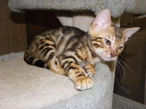 chaton bengal male enregistré tica ,super beau a voir