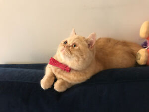 Pure bred persian female for rehoming Urgent