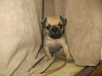 Pug Puppies looking for forever homes