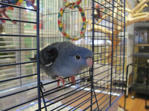 ❤★❤Handfed Baby LINNIES With CAGE❤★❤