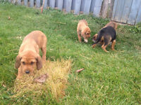 Walker /July coyote hound Puppys