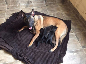 CHIOTS  DUTCH/MALINOIS(100 % Working Lines )