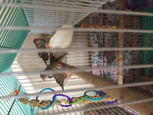Zebra Finches Cambridge Kitchener Area image 1