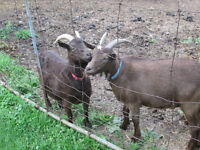 Pygmy goat and her son for sale