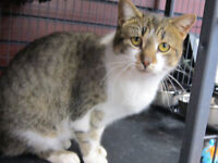 rescued brown & white tabby female for adoption - Mimzie