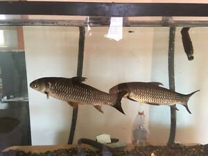 Large Freshwater Fish Need A Good Home