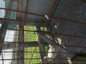 White large pheasants and Silver pheasant  for sale