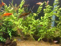 Aquarium sprite water plants