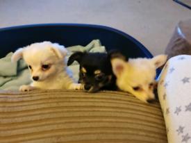 Chihuahua boys **last 2 ****