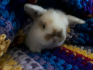Holland Lop Babies!