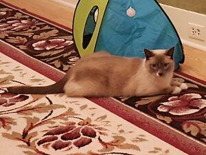 Beautiful Blue Point Ragdoll Mix Neutered Male Cat