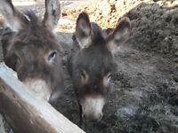 Two mini donkeys one jenny and one gelding