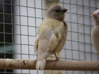 Three Baby Gouldian finches for Sale