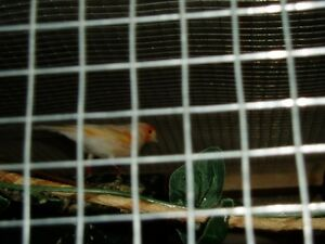 male red mosiac canary