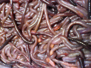 Large Canadian Nightcrawlers  (dew worms) for sale !!!