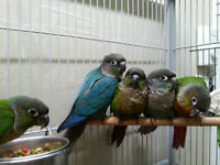 BB conure a joues vertes turquoise