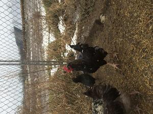 Olive egger rooster