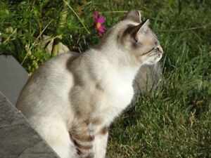 2 free Siamese cats/great mousers