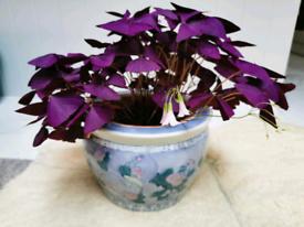 50 cms Oxalis indoor plant