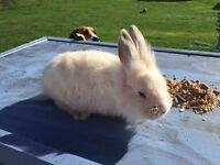 Minilop angora rabbits for sale