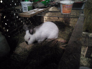 Hay and Grass Fed Rabbit Meat London Ontario image 5