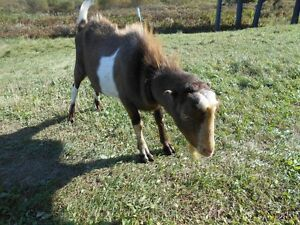 small herd of goats for sale