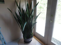 large healthy House Plants