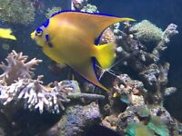 "🐠🐠 stunning 5"" queen Angel fish for marine fish tank aquarium"