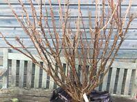 Whitecurrant bush